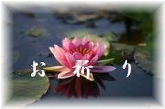蓮の花の写真