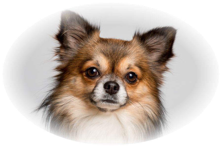 チワワ犬が飼い主を見つめている様子。