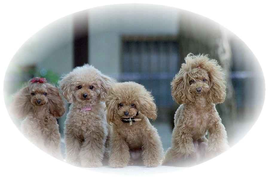 四匹のトイプードル犬が飼い主を眺めている様子。