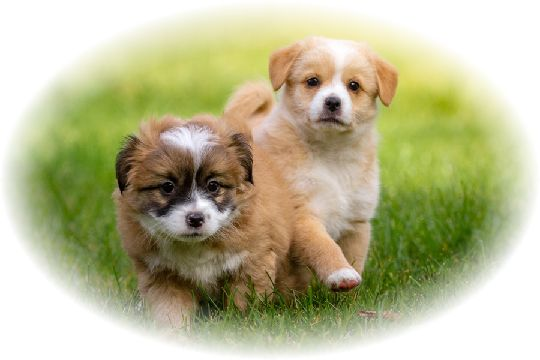 二匹の子犬が草原を走っている様子。