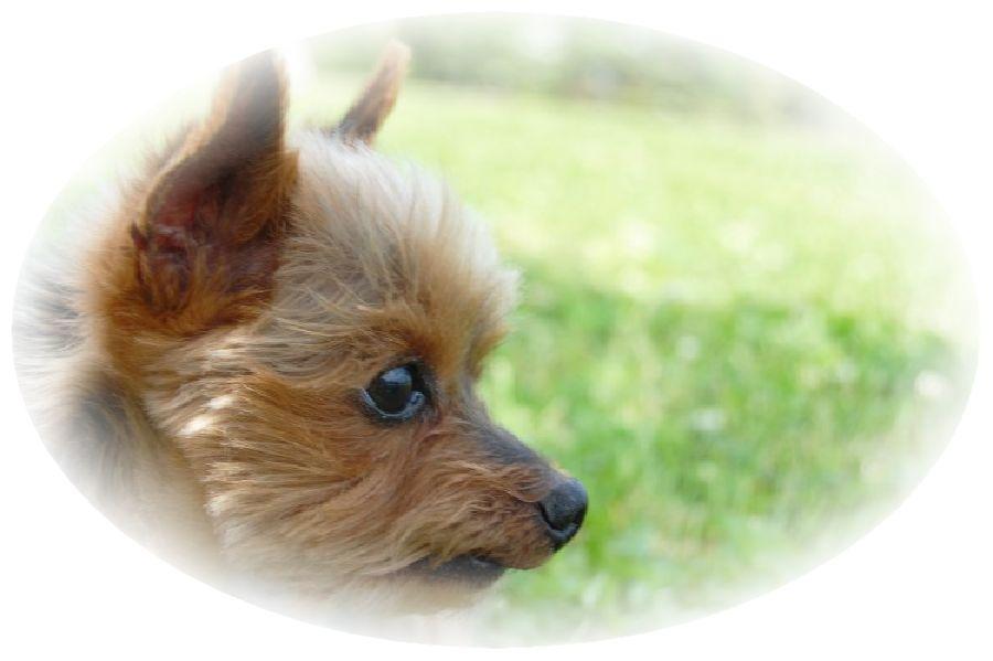 ヨークシャーテリア犬が草原にいる様子。